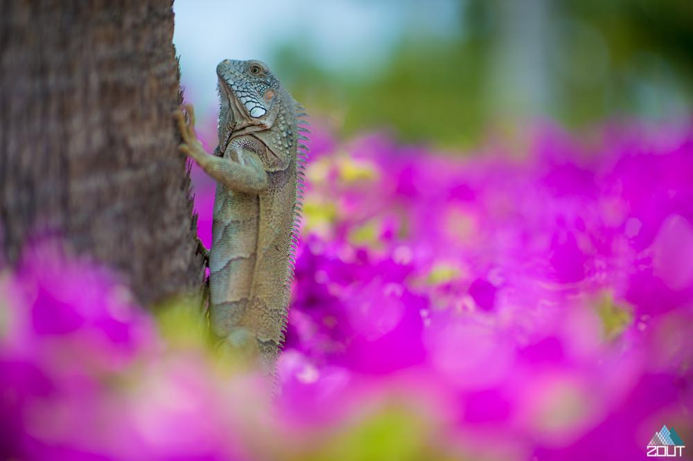 Lizard aruba