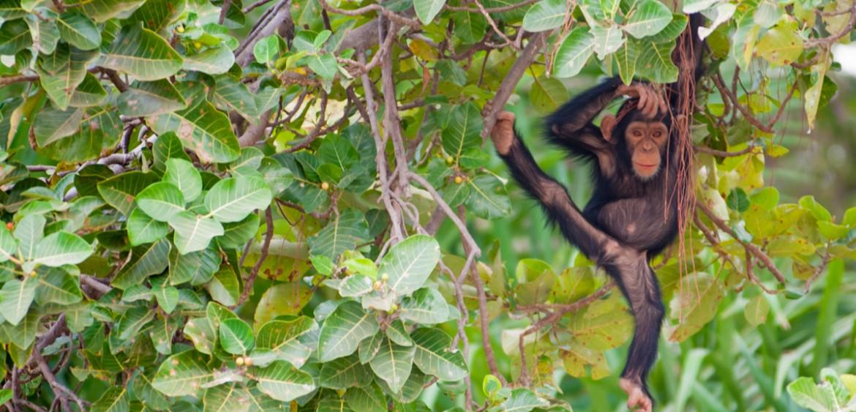 The Gambia wildlife monkeys