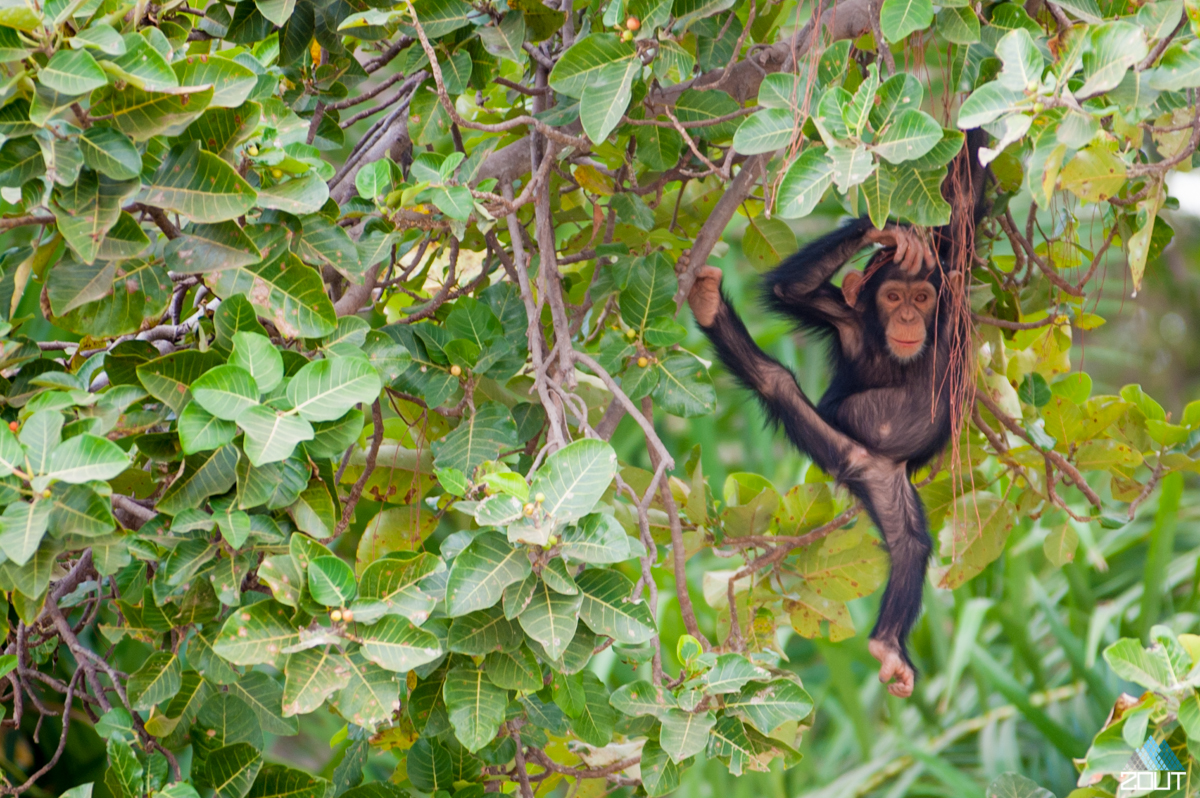 The Gambia wildlife monkeys