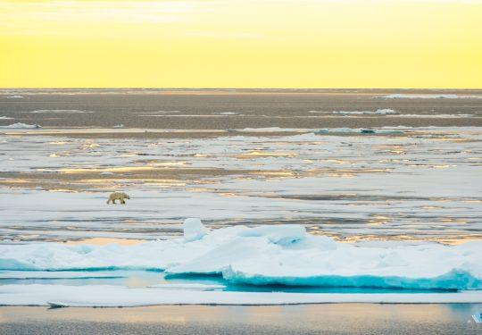 IJsbeer  in Spitsbergen