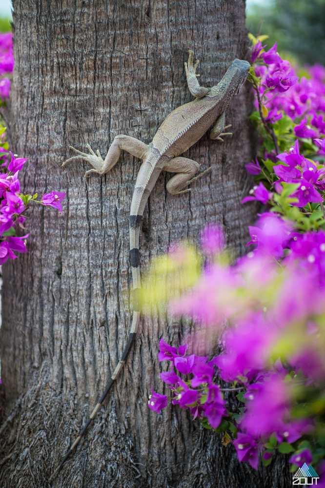 Lizard tree Aruba